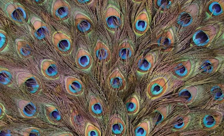 Peacock Feathers Fototapet, (208 x 146 cm)