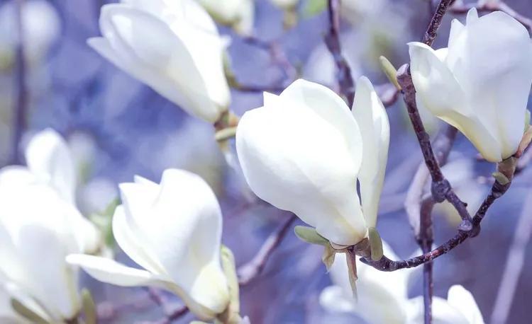 Flowers Magnolia Nature Fototapet, (254 x 184 cm)