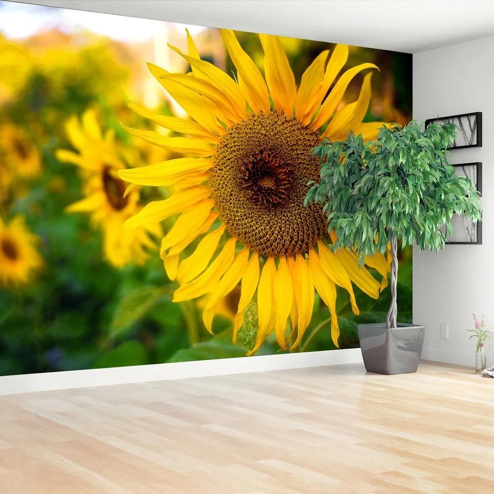Fototapet Floarea soarelui galben