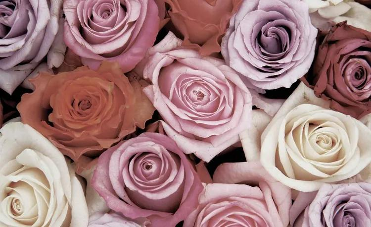 Roses Flowers Pink Purple Red Fototapet, (312 x 219 cm)