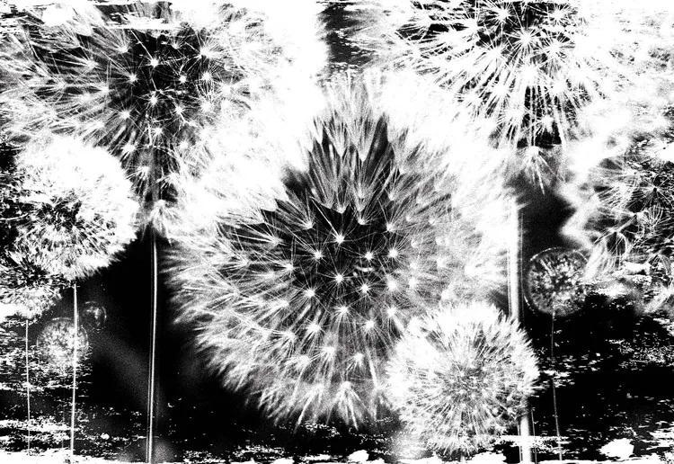Dandelion Black White Fototapet, (254 x 184 cm)