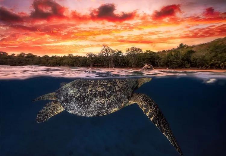 Green Turtle And Fire Sky Fototapet, (254 x 184 cm)