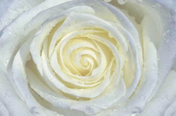 Rose Flower White Fototapet, (104 x 70.5 cm)