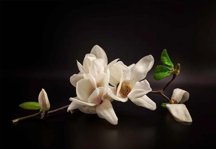 Magnolia Fototapet, (416 x 290 cm)