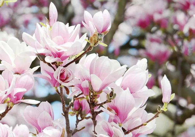 Magnolia Flowers Fototapet, (104 x 70.5 cm)