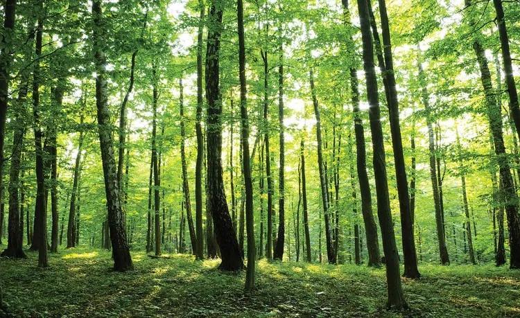 Forest Trees Green Nature Fototapet, (368 x 254 cm)