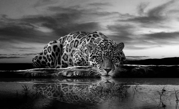 Leopard Feline Reflection Black Fototapet, (104 x 70.5 cm)