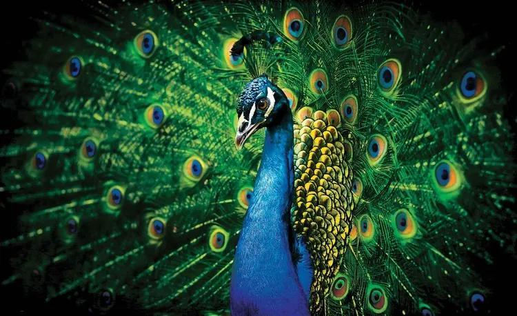 Peacock Bird Feathers Fototapet, (104 x 70.5 cm)