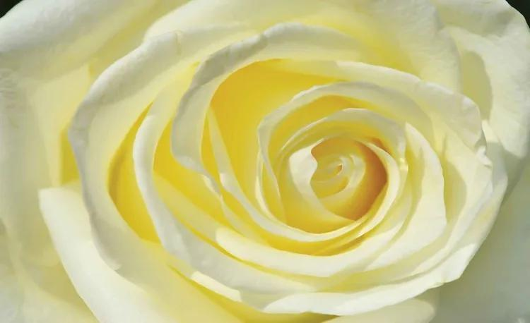 Rose Flower White Yellow Fototapet, (254 x 184 cm)