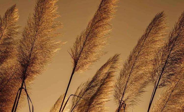 Grasses Blowing In The Wind Fototapet, (208 x 146 cm)
