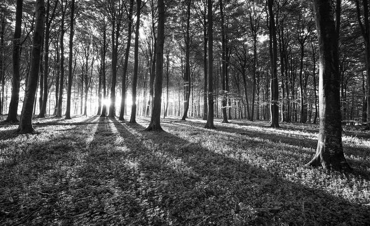 Forest Trees Beam Light Nature Fototapet, (312 x 219 cm)