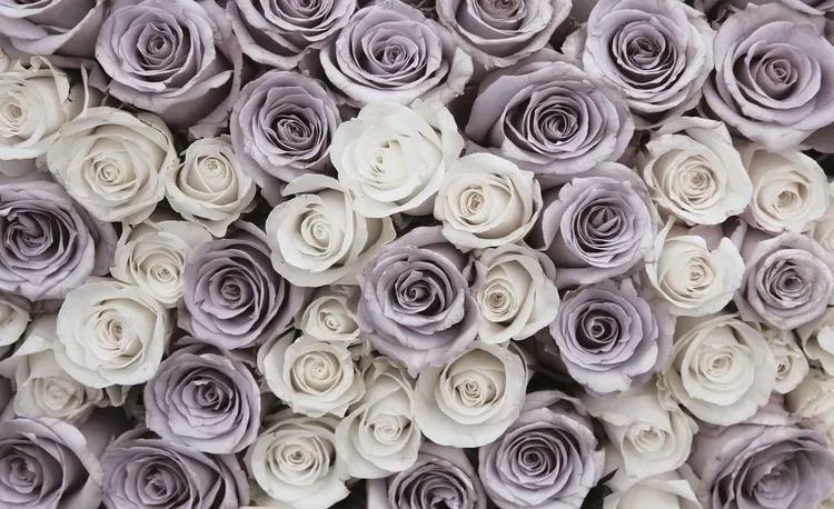 Roses Flowers Purple White Fototapet, (312 x 219 cm)