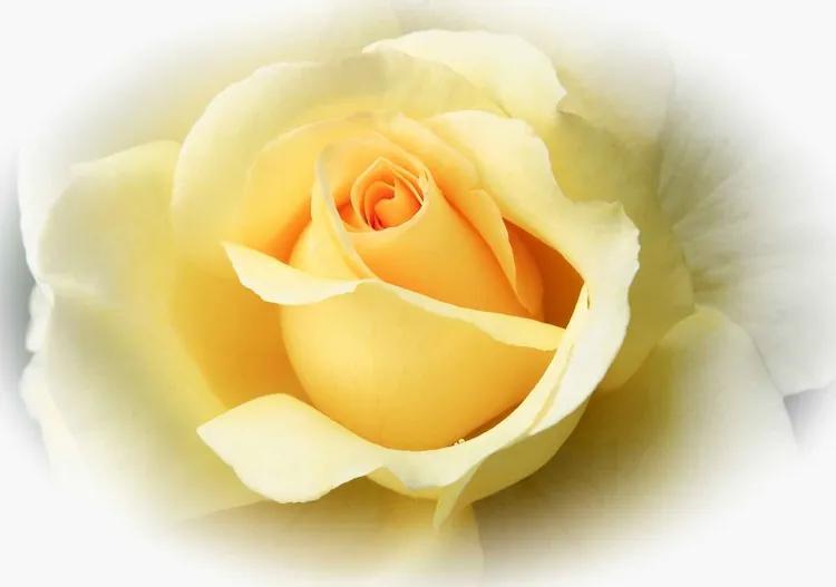 Yellow Rose Fototapet, (104 x 70.5 cm)