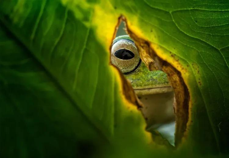Peeking Frog Fototapet, (254 x 184 cm)