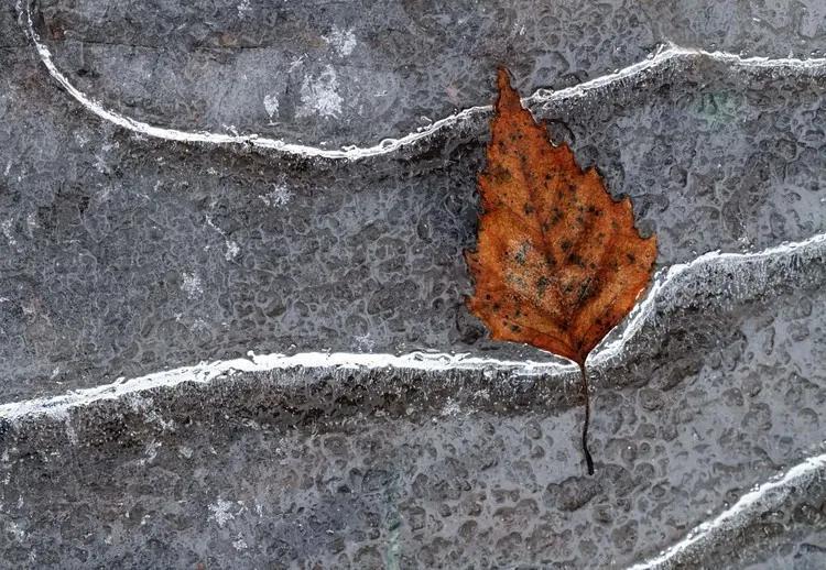 Frozen Leaf Fototapet, (416 x 290 cm)