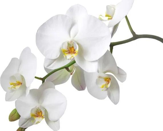 Flowers Orchids Nature White Fototapet, (254 x 184 cm)
