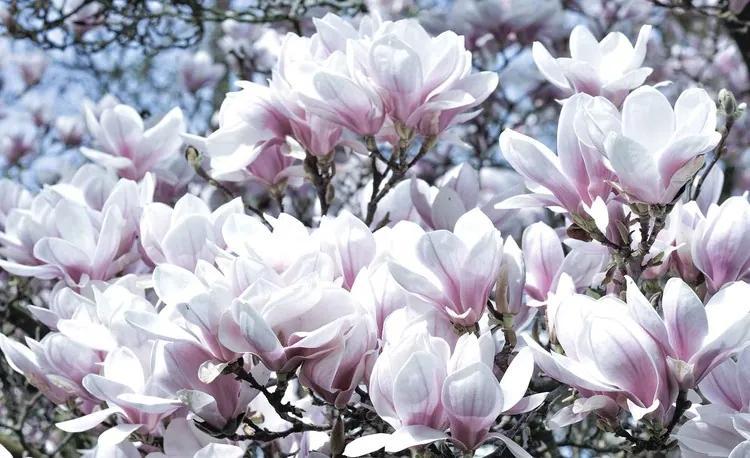 Flowers Magnolia Fototapet, (254 x 184 cm)