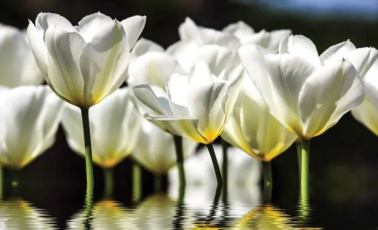 Flowers Tulips Fototapet, (312 x 219 cm)