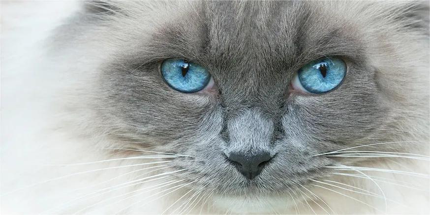 Tablou Printat Pe Sticlă Cat ochi albaștri