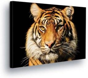 GLIX Tablou - Tiger View 80x80 cm