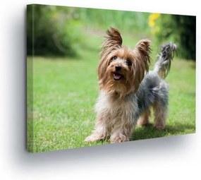 GLIX Tablou - Yorkshire Terrier II 25x35 cm