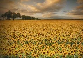 Imagine în cadru - Sunflowers by Piotr Krol 40x30 cm
