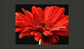 Fototapet Bimago - Red gerbera flower + Adeziv gratuit 200x154 cm